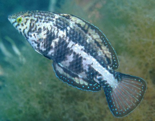Castelnau's Wrasse at Rapid Bay Jetty