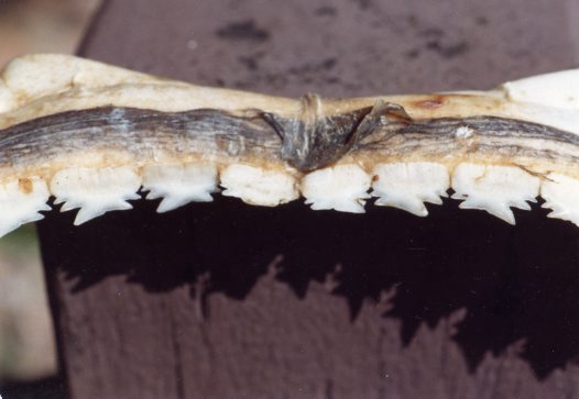 Teeth of a Prickly Shark, Echinorhinus cookei