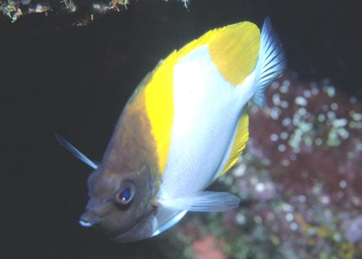A Pyramid Butterflyfish at Mantis Reef