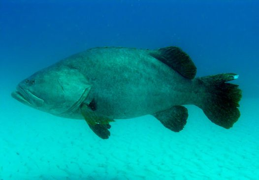 A Queensland Groper at Curtain Artificial Reef, off Moreton Island