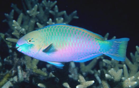 Greenblotch Parrotfish at Redang Island
