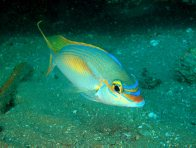 Rainbow Monocle Bream at Bargara artificial reef