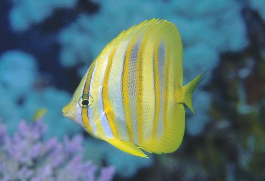 Rainford's Butterflyfish at Ribbon Reef