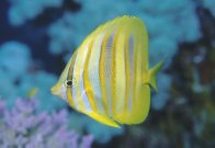 A Rainford's Butterflyfish at Ribbon Reef