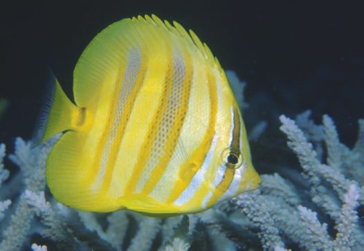 Rainford's Butterflyfish, Chaetodon rainfordi