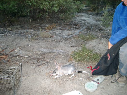 Trapping bilbies