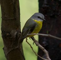 Eastern Yellow Robin, Eopsaltria australis
