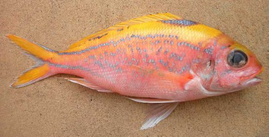 Ornate Snapper from Sydney Fish Market