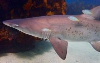 Greynurse Shark and Yellowtail Scad