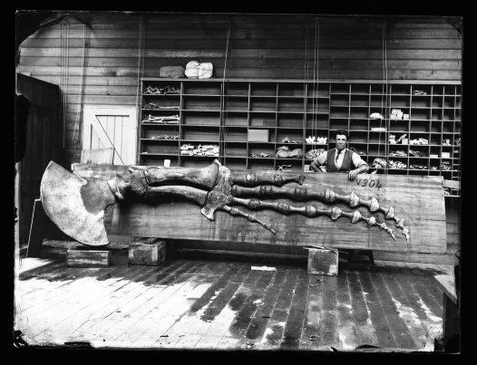 Megaptera Novaeangliae Australian Museum