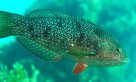 Brownspotted Wrasse, Notolabrus parilus