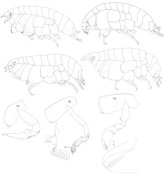 New species of Endevourid amphipods