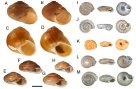 Convergent shell morphotypes in non-related camaenid snails