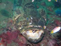 Goldspotted Rockcod at Pulau Payar Island