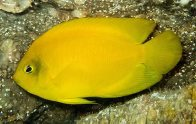 Yellow Angelfish, Centropyge heraldi