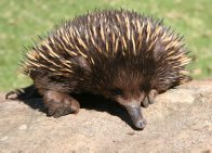 Echidna - Captive and Wild Population Management