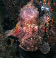 Painted Anglerfish in Botany Bay