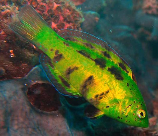 Castelnau's Wrasse at Old Rapid Bay Jetty