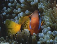 A Red and Black Anemonefish at 'First Sista Reef'