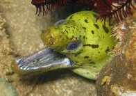 Fimbriate Moray at Anilao
