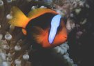 A Red and Black Anemonefish at 'Davies Reef'