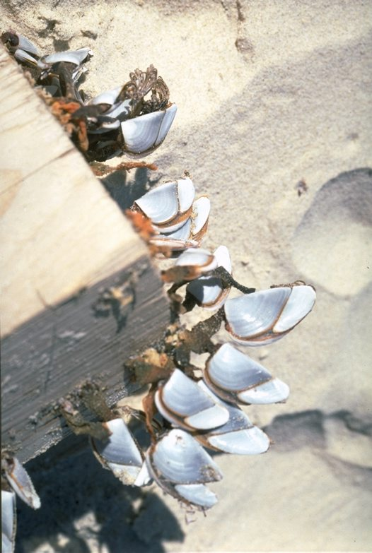 Goose barnacles on edge of wharf