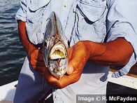 Longraker Trevally - white mouth