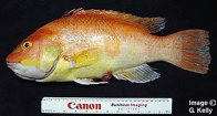 Masked Pigfish, Bodianus flavifrons