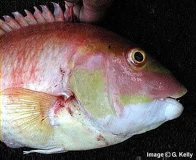 Masked Pigfish - head