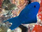 Blue Scissortail at Dugong Islet