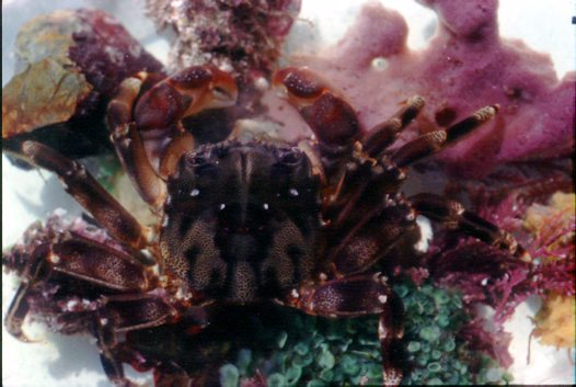 Smooth Rock Crab sitting on sponge and algae
