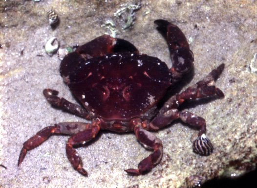 Rock Crab sitting in water
