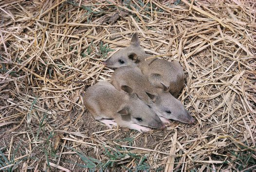Young Long-nosed Bandicoots