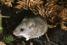 Bush-rat, Rattus fuscipes assimilis