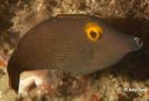 Yelloweye Leatherjacket, Pervagor alternans