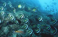Longfin Bannerfish at Fish Rock