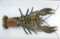 Female Crayfish with eggs