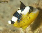 Yellowspotted Triggerfish - juvenile