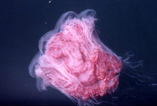 Australian giant jellyfish - photo#21