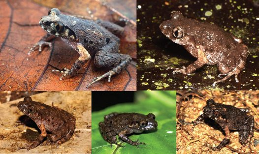 Five new species of Asian Leaf-litter Frog