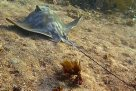 Southern Eagle Ray in Cabbage Tree Bay