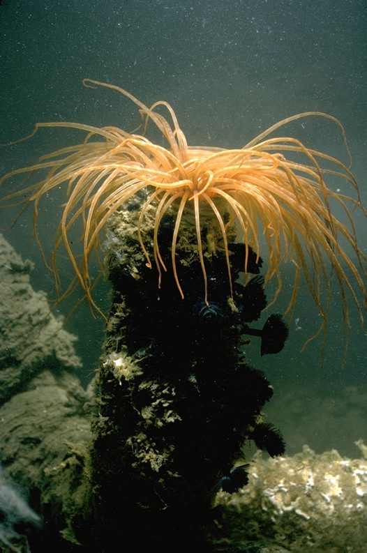 Tube Anemone in seabed