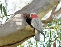 Galah at nest in tree hollow