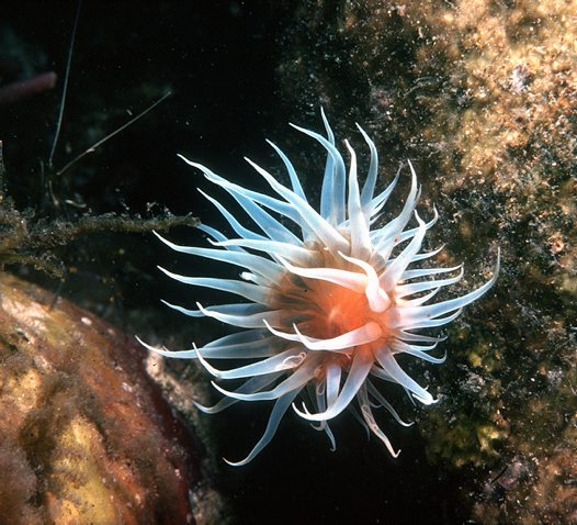 White Oulactis Anemone in rock pool