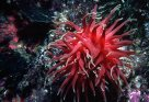 Red Oulactis Anemone in rock pool