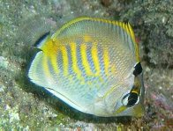 Dot-and-Dash Butterflyfish - juvenile