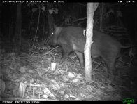 Camera trap image of a wild pig