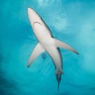 Blue Shark from below