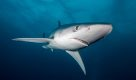Blue Shark at Western Cape