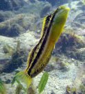 Brown Sabretooth Blenny in Gunnamatta Bay